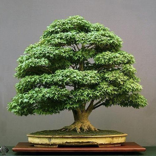 Learning How To Tend Bonsai Trees